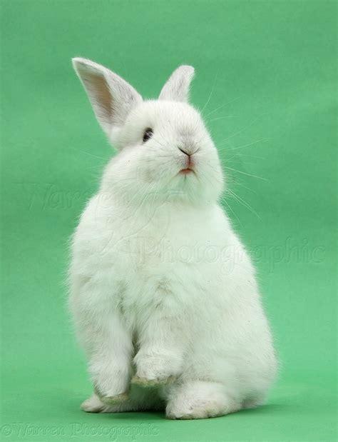 12 Md Rabbit Bery White image gallery white rabbit