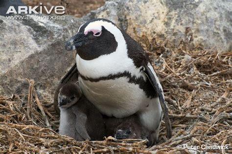 African penguin photo - Spheniscus demersus - G131959 | Arkive