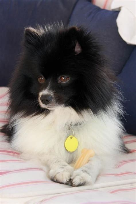 black and pomeranian black and white pomeranian i my pomeranian sweet white pomeranian and