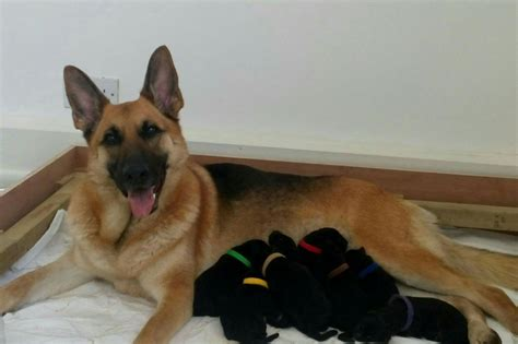 shepherd puppies for sale german shepherd puppies for sale ready to leave ilford essex pets4homes