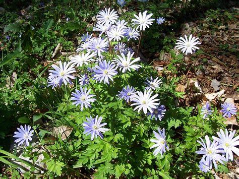 anemone apennina anemone apennina wikipedia