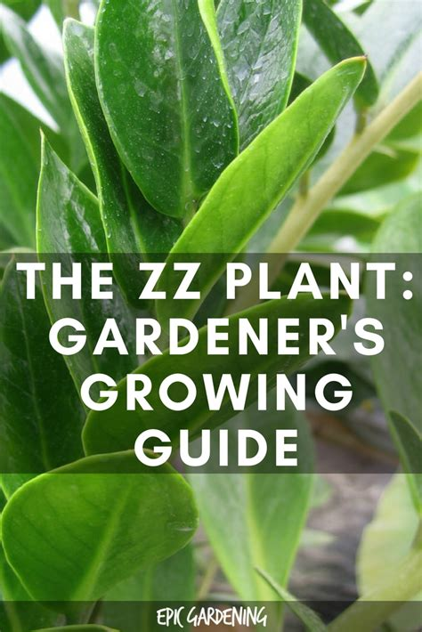 What Zone Am I In For Gardening - zz plant zamioculcas zamiifolia care and growing guide