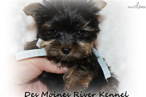 yorkie for cheap price meet teacup milo a terrier yorkie puppy for sale for 1 500 teacup