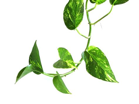 vine house plants 6 houseplants you won t kill