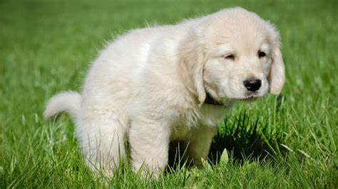 how do i house train a dog how to potty train a puppy in 7 easy steps