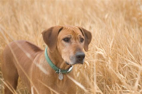 rhodesian ridgeback puppies for sale california rhodesian ridgeback puppies available california