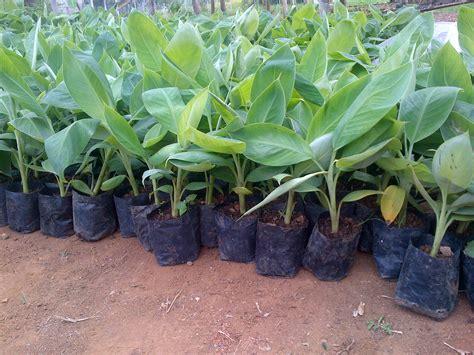 Bibit Buah Bogor bibit pisang kultur jaringan cv mutiaratani agrisarana