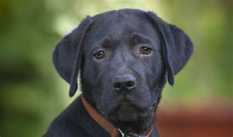 raising a lab puppy black lab your guide to the black labrador retriever the labrador site
