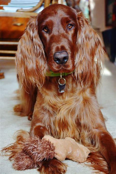 old setter dog 126 best images about irish setter on pinterest irish