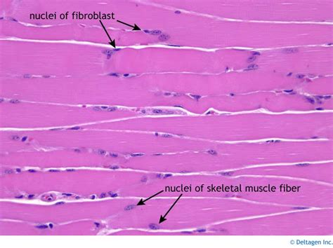 skeletal muscle longitudinal section skeletal picfind1 bloguez com