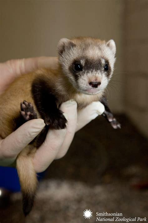 desk weasel for sale 164 best images about ferret love on pinterest