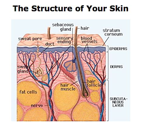 diagram of skin the structure of your skin your skin s anatomy7