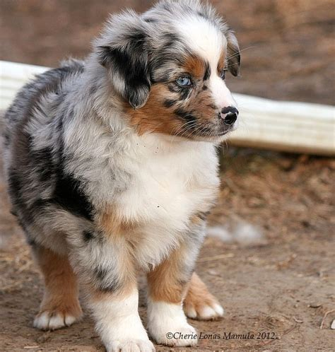 miniature aussie puppies for sale best 25 aussie puppies ideas on puppies australian shepherd puppies and