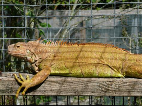 do iguanas change color 100 het hypomelanistic florida iguana tortoise breeders