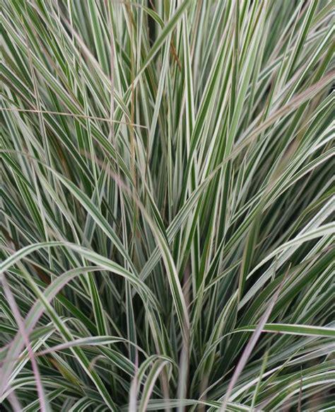 calamagrostis acutiflora overdam 3 x 9cm potted ornamental grass plants ebay