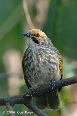 kumpulan gambar burung cucakrawa