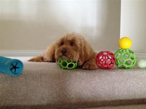 mini doodle balls doodle tough toys 187 doodle country mini goldendoodles