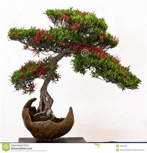 bonsai con fiori azalea con i fiori come bonsai fotografia stock immagine