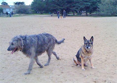 dogs that look like german shepherds when a german shepherd looks like a small yelp