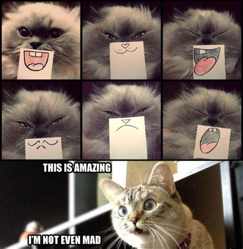 Cat Meme Faces - facial expressions for cats
