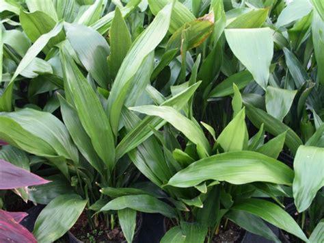 zimmerpflanzen dunkel zimmerpflanzen f 252 r dunkle standorte geeignet
