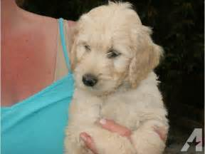 Ready To Go Miniature Goldendoodles For Sale In