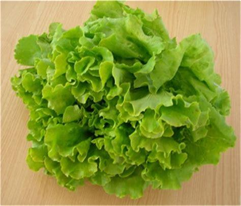imagenes lechugas verdes ensaladas para la operaci 243 n bikini nutricion y consumo
