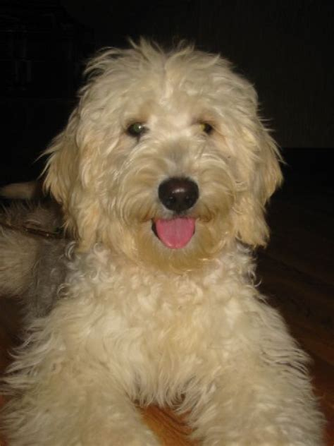 goldendoodle food 130 best images about golden doodle grooming styles on