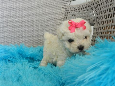tea cup puppies for sale poodles teacup poodles for sale teacup yorkies tiny teacup maltese tiny