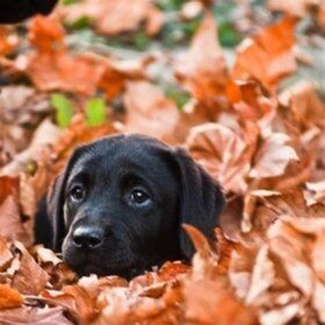 fall puppies must be fall time black lab labrador retriever puppy fall
