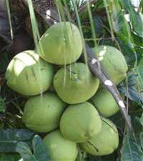 Benih Biji Buah Bonsai Melon macam macam kelapa aku buah sehat