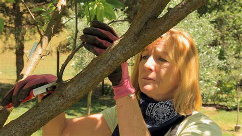 how do you prune fruit trees why you should prune some of your fruit trees in the