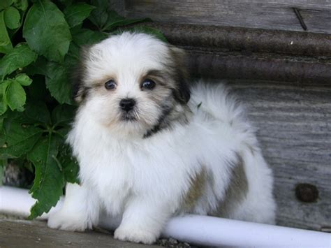havanese cross breeds 10 maltese cross breeds you to see to believe