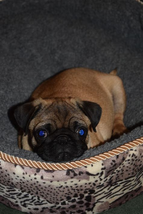 pug puppies essex pug puppies colchester essex pets4homes