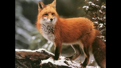 is a fox a sound of a fox bark