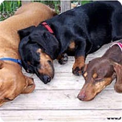 puppies for adoption spokane wa spokane wa dachshund meet rescued dachshunds since 1991 a for adoption