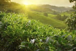 tea plants cold hardy easy grow fast growing trees blog