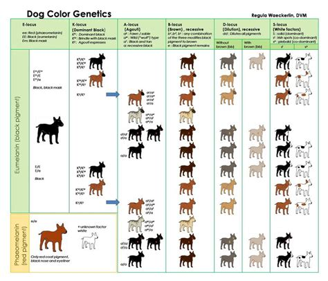 puppy color calculator color dna chart breeds picture