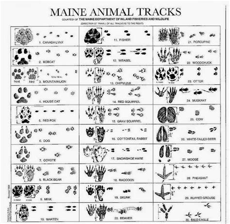 printable animal tracks identification how many can you identify maine animal tracks pinterest