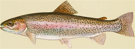 rainbow trout aquaponics wiki fandom powered by wikia