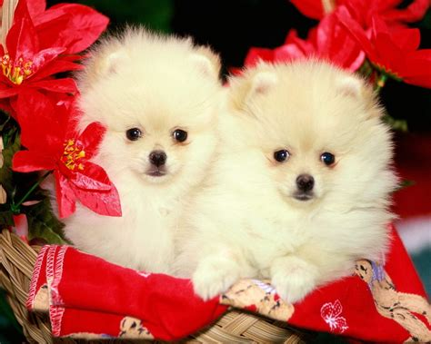 puppy pictures wallpaper dogs images wallpaper hd wallpaper and background photos 13632586