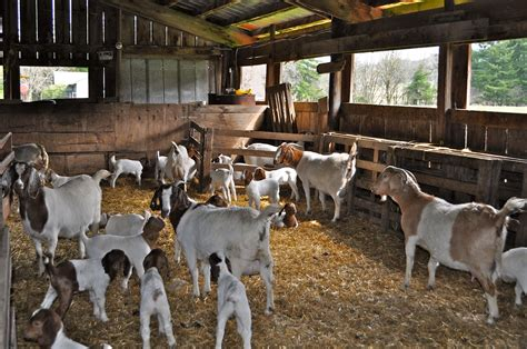 The Goat Shed by Luann Kessi A Day At The Goat Barn