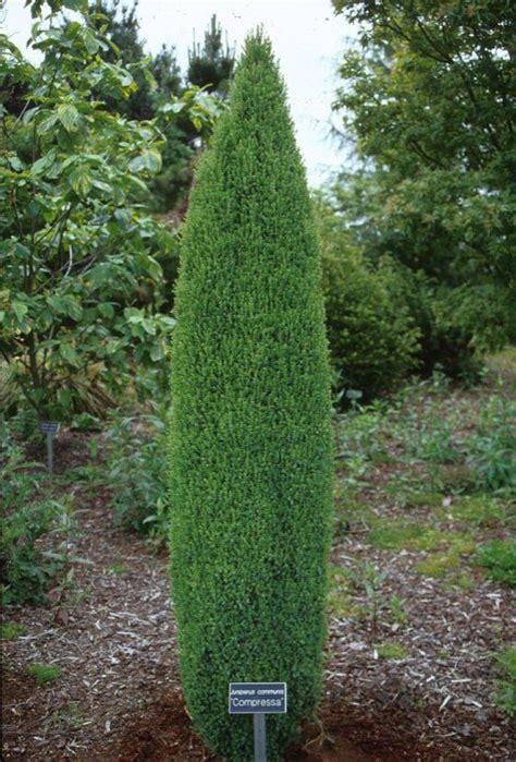 juniper compressa landscape ideas