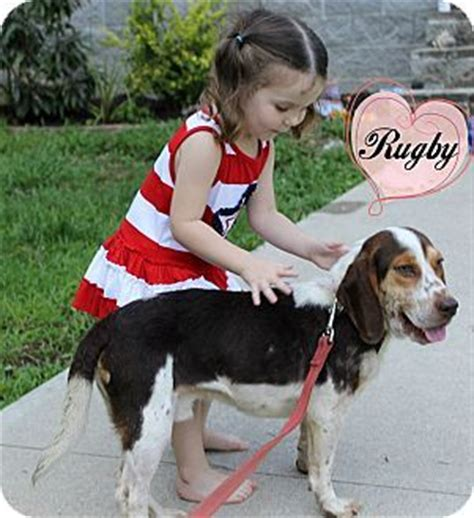 puppies for adoption albany ny albany ny basset hound beagle mix meet rugby 8 months a puppy for adoption http