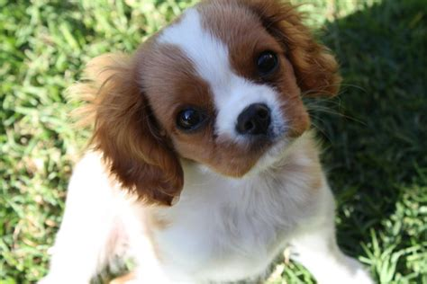 cavalier king charles spaniel puppies adoption dogs hempstead ny free classified ads