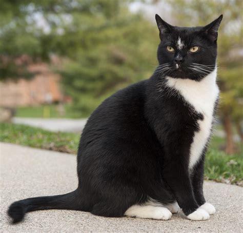 Boot Monika Putih gato brit 225 nico bicolor blanco y negro todo sobre 233 l