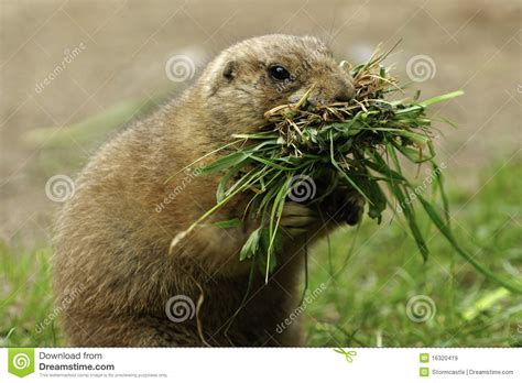 prairie food prairie dogs pictures posters news and on your pursuit hobbies interests
