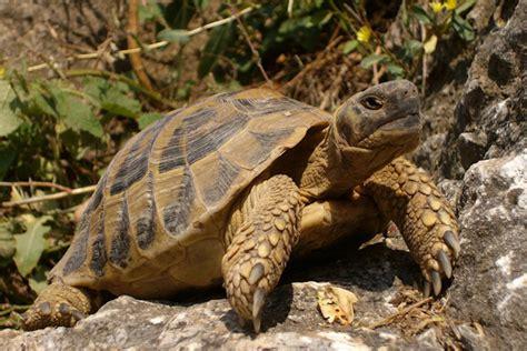 lada per tartarughe di terra image gallery tartaruga