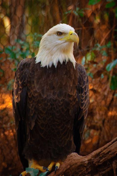 American Bald Eagle   Free Images at Clker.com   vector