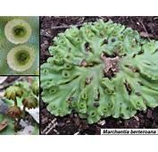 Blue Tier Tasmania  Bryophytes Liverwort Thumbnails